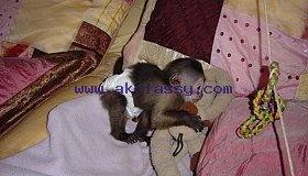 Cute little capuchin monkey whatsapp +1 307-200-8812