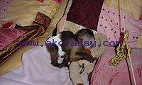 Amazing Capuchin Monkey +1 307-200-8812