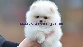 Adorable outstanding Toy Poodle puppies