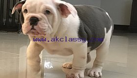 blue-english-bulldog-pups-for-sale-5aab92ce6ab90_grid.jpg