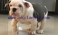 English bulldogs for loving homes