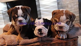 beautiful-bulldogs-5aa9561466257_grid.jpg