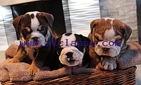 Outstanding English Bulldogs
