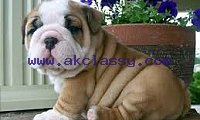 Adorable English bulldog for sale