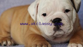 Fine English bulldog puppies