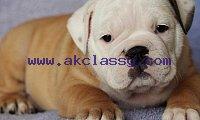 Fine English bulldog puppies