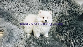 Akc teacup Pomeranian puppies