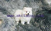 Akc teacup Pomeranian puppies