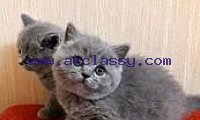 Purebred Grey British Short Hair Kittens