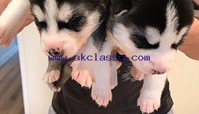 4-blue-eyed-siberian-husky-puppies-for-sale-5c44e23f04551_grid.jpg