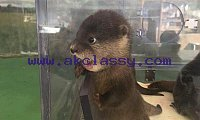 ASIAN SMALL CLAWED OTTERS FOR SALE