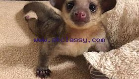 BEAUTIFUL KINKAJOUS FOR SALE TEXT:: (419) 777-4855