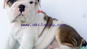 English Bulldog Puppies Males & Females