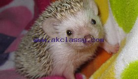 Friendly Hedgehog babies for sale
