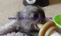 Super cute Marmoset MonkeyS for Sale