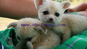 Fennec Fox babbies for sale