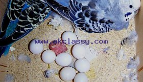 macaws amazon and atoos parrot eggs