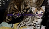 Cute Bengal Kittens Available For adoption Text (708) 928-5512