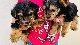 Yorkie Puppies text us at (669) 256-1078