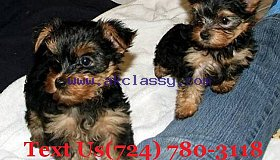 Two Teacup Yorkie Puppies Needs a New Family, txt:(724) 780-3118