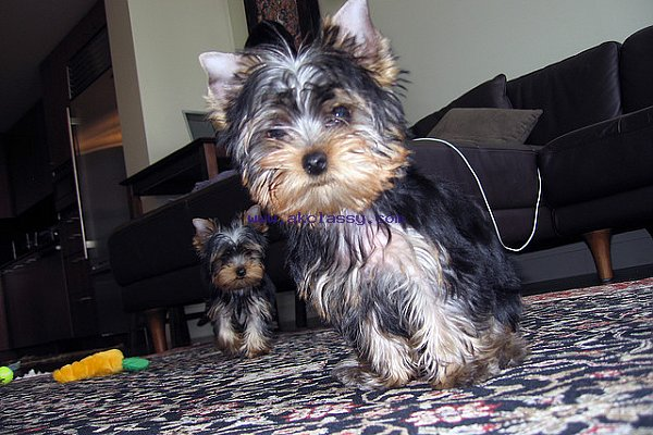 Lovely And Adorable Yorkie Puppies Akclassycom