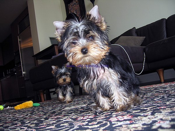 Lovely and adorable Yorkie puppies