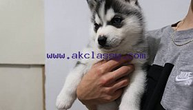 Pure Bred Full Pedigree Siberian Husky Pups