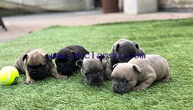 french-bulldog-puppies-boys-and-girls-5c9c9b1ec3215_grid.jpg