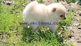 Affectionate Teacup Pomeranian Available Adorable,
