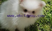 Affectionate Teacup Pomeranian Available