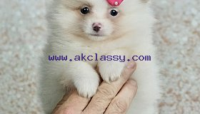 Well Trained Tea Cup Pomeranian puppies Available