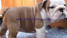 Beautiful Bulldog Puppies Ready To Be Adopted