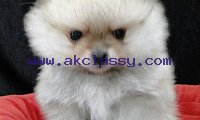 Adorable T-cup Pomeranian Puppies