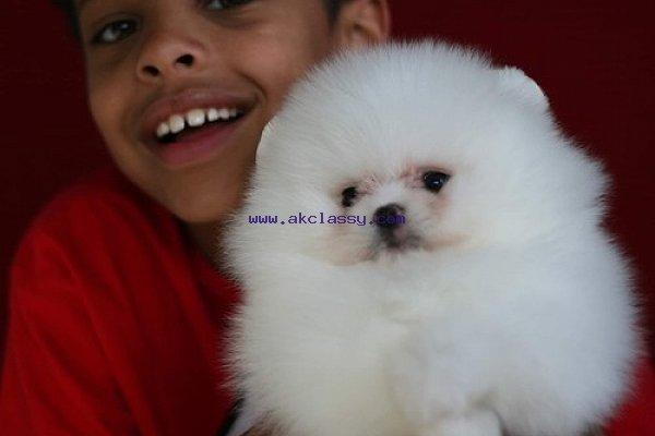 Adorable T-cup Pomeranian Puppies - AKClassy com