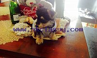 Tea Cup Yorkie Puppies For Sale.