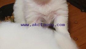 Three Teacup Pomeranian Puppies Needs A New Family