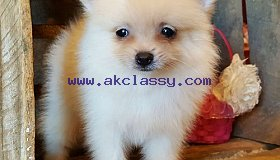 Three Teacup Pomeranian Puppies Needs A New Family