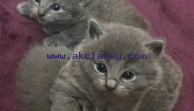 Russian Blue Kitten for a new home