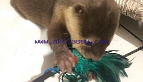 USDA LICENSED ASIAN SMALL CLAWED OTTERS MESSAGE (601) 675-2405