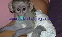 lovely capuchin , squirrel and marmoset monkeys ready for good homes.