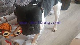 ### French Bulldog Puppies###