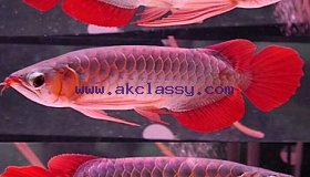 Quality Asian Arowana Fish for sale