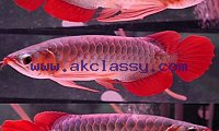 Quality Asian Arowana Fish for sale