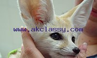 TICA REGSTERED FENNEC FOX AND BABY OCELOT KITTENS FOR SALE.