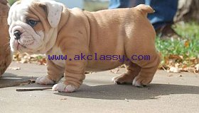 English bulldog puppies for adoption