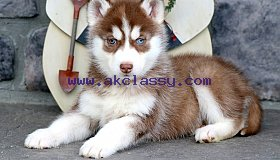 SIBERIAN HUSKY PUPPIES READY NOW