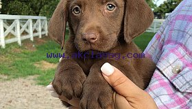 akc lab puppies- gorgeous!