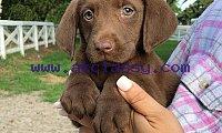 akc lab puppies- gorgeous!