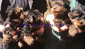 Yorkie Puppies Ready To Go To Their New Homes