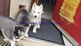 siberian-husky-puppies-5c8cc92f97f92_grid.jpg